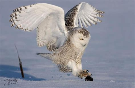 interesting facts about snowy owls just fun facts