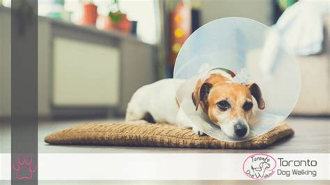 what to expect with a puppy my is getting neutered fixed what to expect during recovery