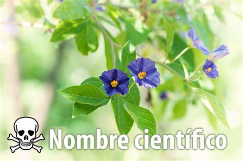 imágenes de flores venenosas nombre cientifico del agapanto related keywords nombre