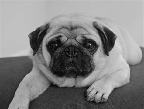 pug for rescue pugs for adoption image search results