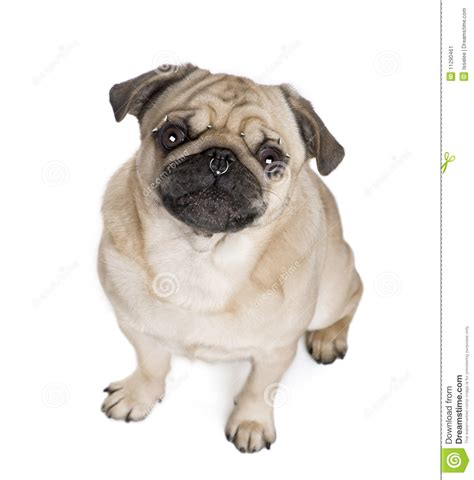 pug white background pug pierced in front of white background stock image image 11290461