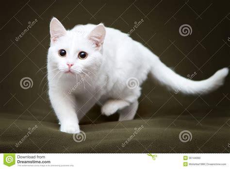 imagenes ojos blancos gato blanco hermoso con los ojos amarillos foto de archivo