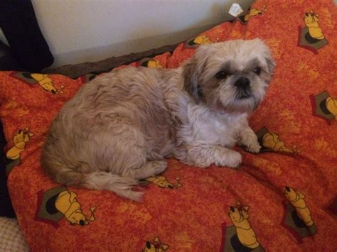 white and brown shih tzu loving brown and white shih tzu yeovil somerset pets4homes