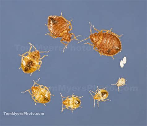 bed bug life span bedbugs all rite pest control