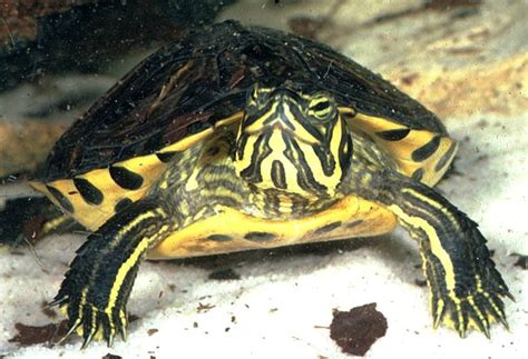 gc6118c 31 yellow bellied turtle unknown cache in florida united states created by