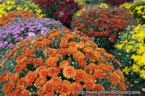 mums photo picture definition at photo dictionary mums word and phrase defined by its image