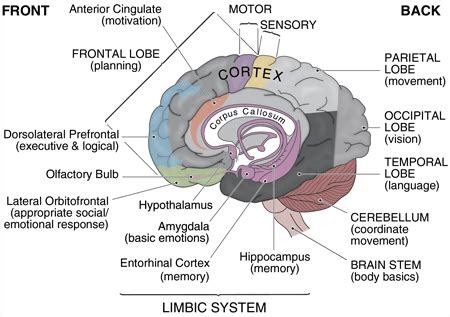 brain sections and functions the brain diagram and explanation