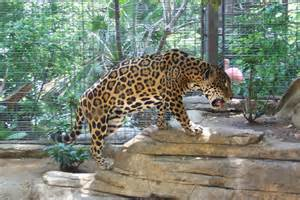 Jaguar The Cat Which One Is The Strongest And Cutest Cheetah And Jaguar