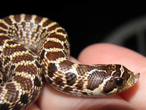 the best pet snake for a beginner snake buddies