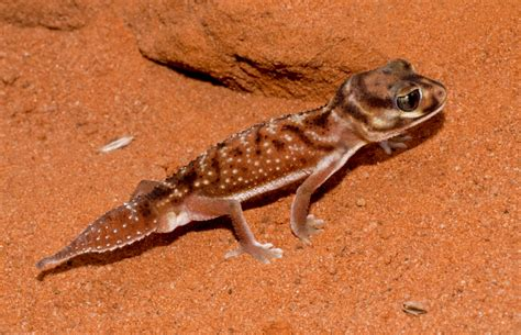 Knob Tailed Gecko by Livefoods Unlimited Pilbara Smooth Knob Tailed Gecko