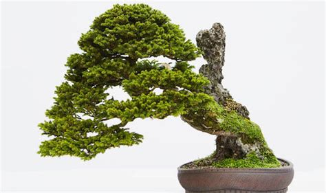 Indoor Plants Uk a bonsai tree in the house adds an exotic and calming