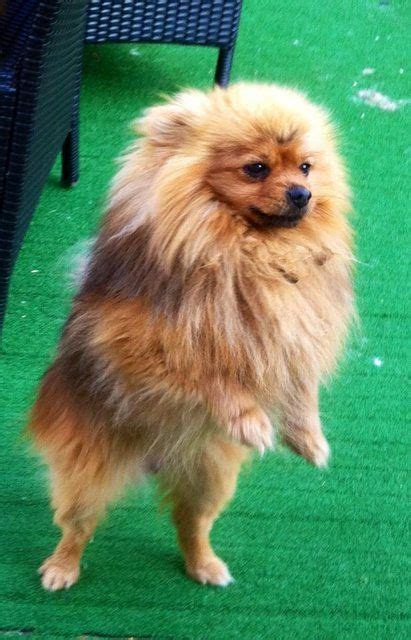 pomeranian rescue uk 1000 ideas about pomeranian rescue on pomeranian dogs pomeranians and