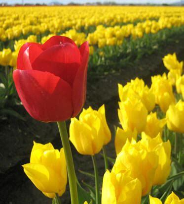 Come Piantare I Bulbi Di Tulipano by Quando Piantare I Bulbi Di Tulipano Notizie It