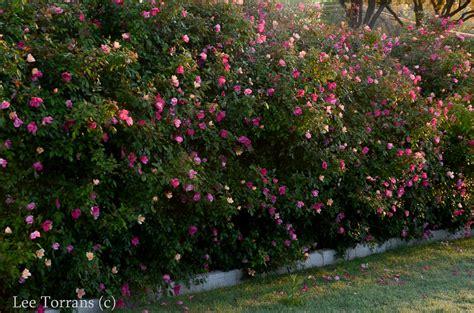 Mutabilis ? Antique Shrub Rose for Texas ? Lee Ann Torrans
