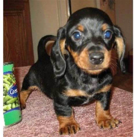 dachshund puppies for sale in illinois mini dachshund puppies illinois breeds picture