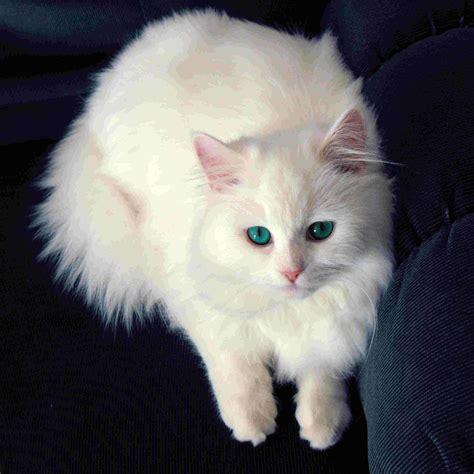 wallpaper cat white white cat wallpapers wallpaper cave