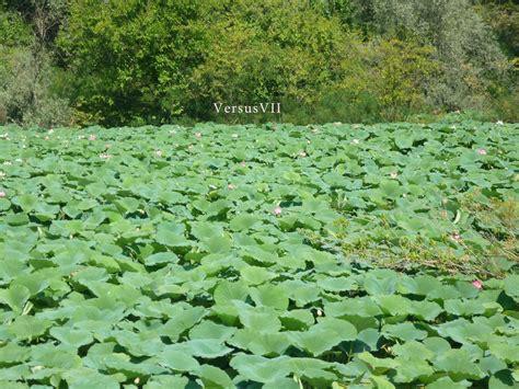 fiori di loto mantova i fiori di loto a mantova steemit