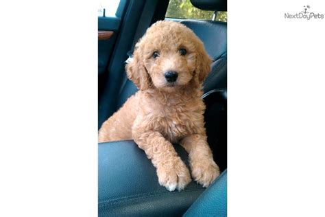goldendoodle puppy florida goldendoodle for sale for 850 near ocala florida