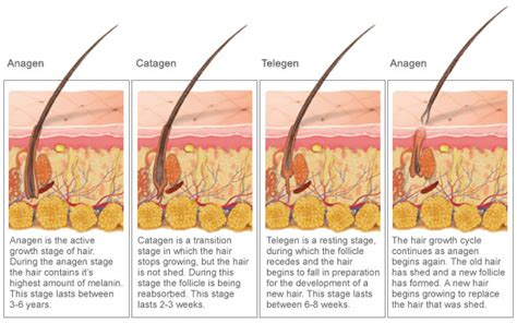 stages of hair annapolis electrolysis the 3 stages of hair growth
