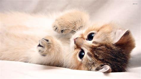 kitten wallpaper    hd desktop
