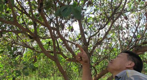 Jambu Monyet Besar ribuan ulat bulu jumbo serang pohon jambu monyet