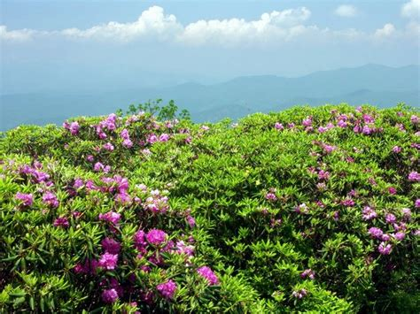 rhododendron at craggy gardens