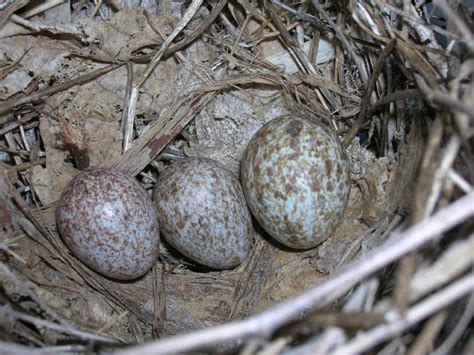 cardinal eggs color bird in everything cardinal bird eggs
