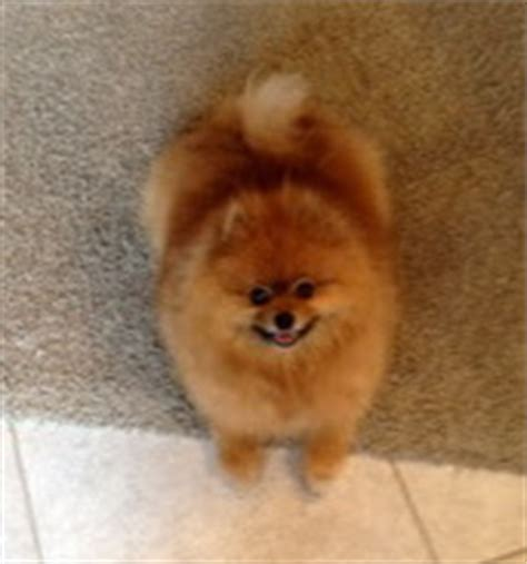 black skin disease pomeranians sir winston the pomeranian beats black skin disease hair loss