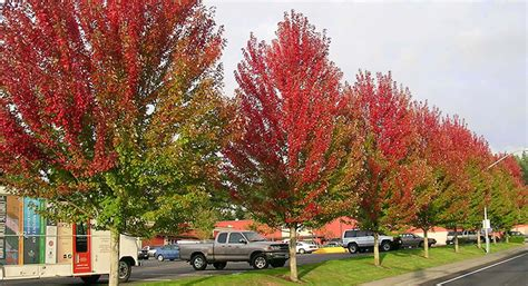 maple tree vs autumn blaze list of synonyms and antonyms of the word october maple seeds