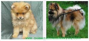 different types of pomeranians