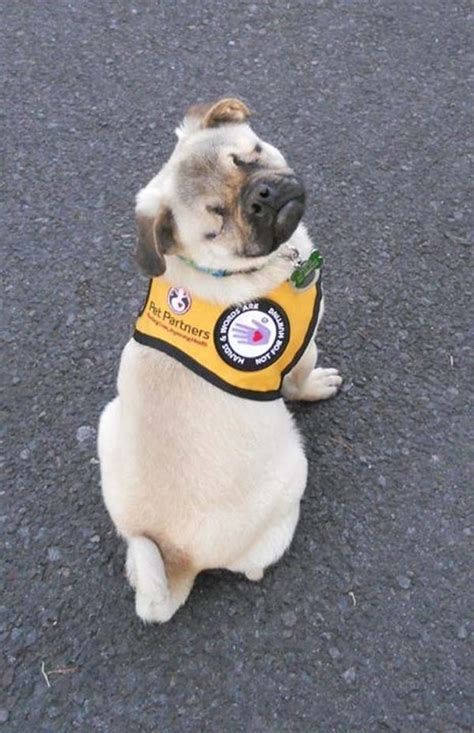 pugs as therapy dogs xander the blind pug becomes a therapy