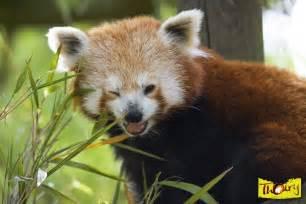 Panda Roux Parc Animalier Zoo Safari Zoo De Thoiry
