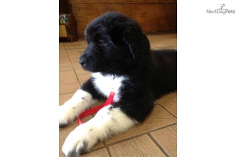 newfoundland puppies mn akc newfoundland puppies for sale adoption from roseau minnesota breeds picture