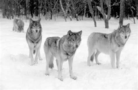 161 qu 233 llega el lobo marco de fotos con lobos en la nieve marcos gratis animales majestuosos galer 205 a de fotos