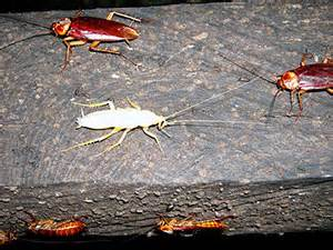 Houses With Finished Basements the scary truth about white cockroach identification and