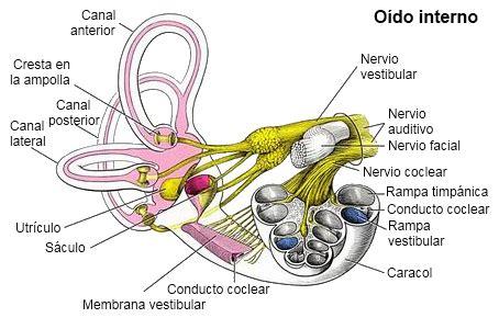 vestibulo funcion oido el o 237 do interno la c 243 clea el vest 237 bulo y el nervio