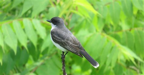 wild birds unlimited eastern kingbird facts