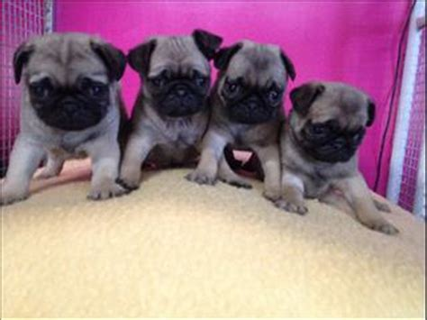 pug puppies for sale trading post bad request