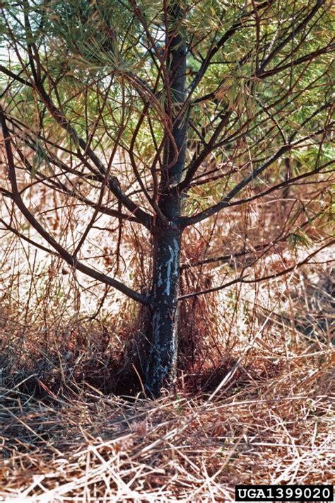leptographium root disease leptographium procerum on