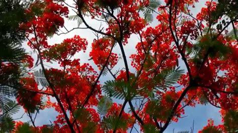 alberi con fiori trees with flowers alberi con fiori