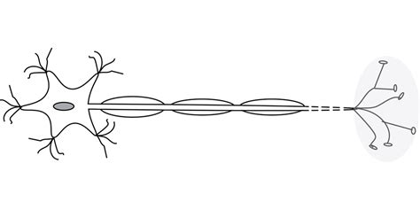 motor neurom free vector graphic motor neurone neuron neurone free