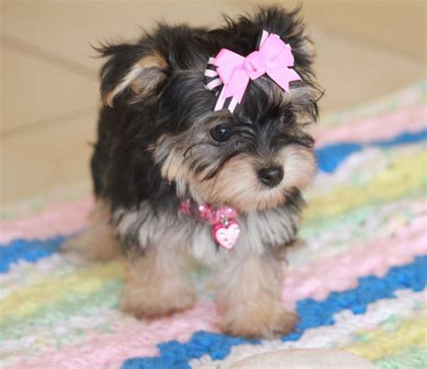 how often do yorkie poos need to be grooming could this be my future puppy i