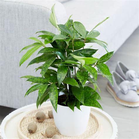 tanaman dracena ibad garden