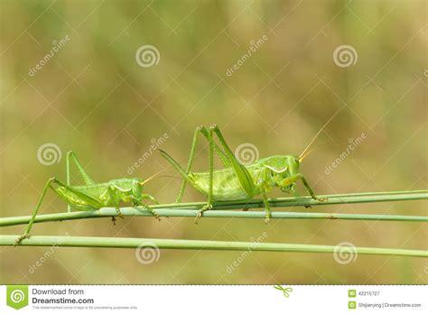 imagenes de grillos verdes grillos verdes imagen de archivo imagen de feeler