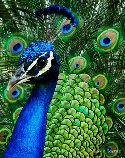 colorful peacock colorful peacock peacock macro images