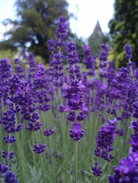 mosquito repellent plants lavender it is because of their lovely fragrance which comes from