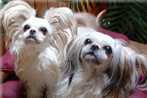 mi ki puppy mi ki breed standards