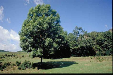 tree fresno ca oleaceae