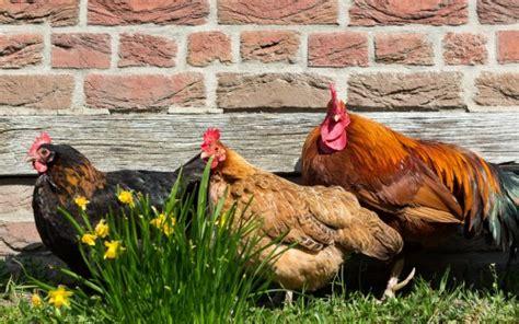 allevamento galline in gabbia allevamento in gabbia l auschwitz delle galline le