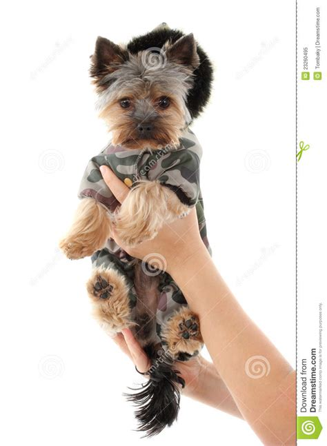 yorkies in clothes terrier in clothes royalty free stock photo image 23260495